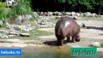 Schon mal einen Nilpferd furzen gesehen? Wenn nicht, dann müsst ihr das sehen!