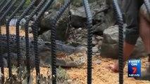 Terrible crocodile attack on Zoo keeper who feeding the beast!