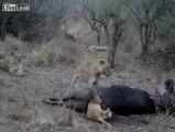 Lion Kid Died. Ooops