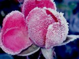 """""""James Last - When The Snow Is On The Roses"""" (""""Джеймс Ласт - Когда снег лежит на розах"""" )"""