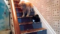 Chat méchant bloque les chiens dans l'escalier : hilarant!