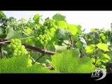 Casa francese imbottiglia prima annata di vino fatto in Etiopia. Produzione 1,2 milioni di bottiglie, destinate a mercato interno