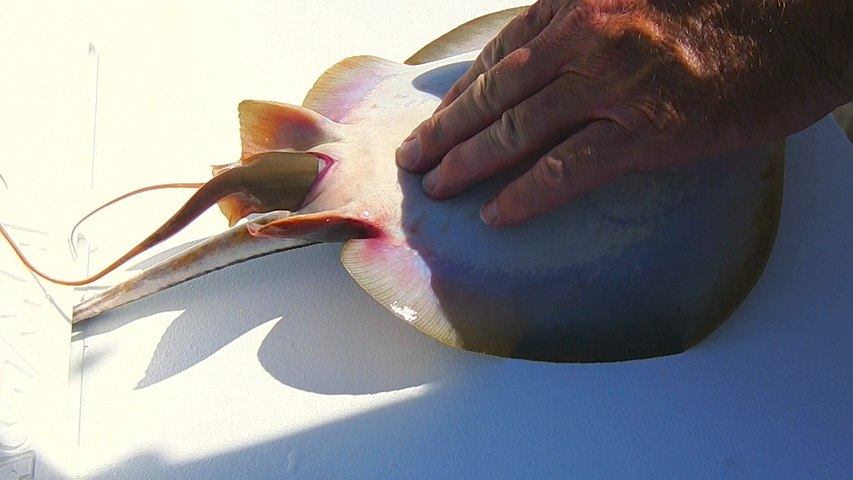 Caught On Camera: Fisherman Helps Stingray Give Birth