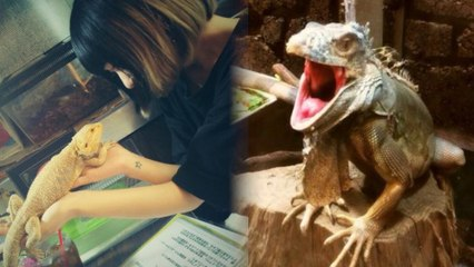 Lizards Watch You Eat at Japan's Reptile Cafes