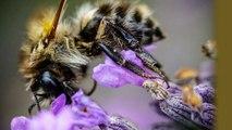 Abeilles, bourdons, papillons ... insectes et Macrophotographie