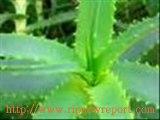 L ' ALOE VERA... Una pianta MIRACOLOSA . RICETTA PER LA PREPARAZIONE