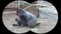Nos amies les bêtes de sexe : Le gorille