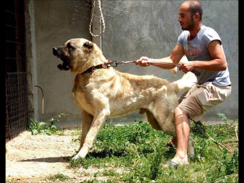 Turkish Lion , Kangal the nr 1 Dog of the world