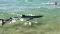 EXCLUSIF. Ils ont filmé le requin bleu en Corse (document amateur)