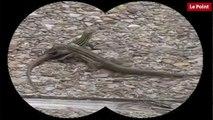 Nos amies les bêtes de sexe : Le lézard à queue en fouet