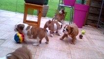 chiots bulldog anglais de Gipsy-lou du jardin des bulls  nés en 2014