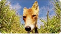 Fox Steals GoPro | Pesky Animal Thief