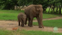 Bébé éléphant rencontre petit chat. Trop mignon!