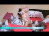 MALC Les Maine coon : des chats qui aiment le froid !