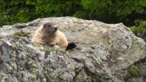 Marmottes sauvages d'Arosa