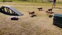 Course de beagles contre voiture télécommandée!