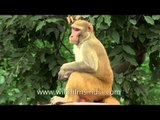 Macaques grooming each other sitting on a wall