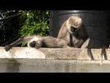 Grey langurs sunning themselves in Landour