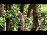 Gray langurs jumping and climbing trees - Landour, Uttarakhand