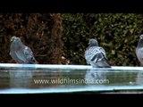 Pigeons taking a dip in Jamia Masjid, Srinagar