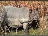 Indian rhino opens its mouth wide while foraging amongst tall grass