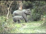 Female elephant and calf wanders the forest in Kaziranga, Assam