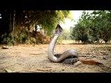 Cobra rears up its head, in strike pose