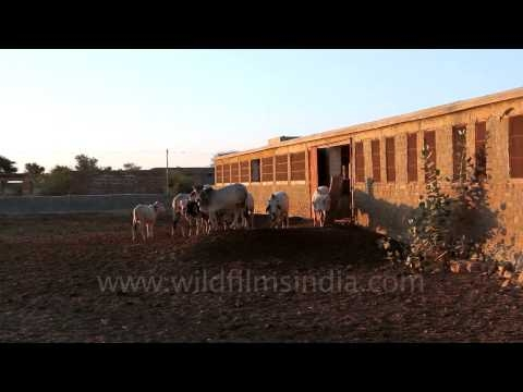 Cattle Livestock Research Centre, Jaisalmer