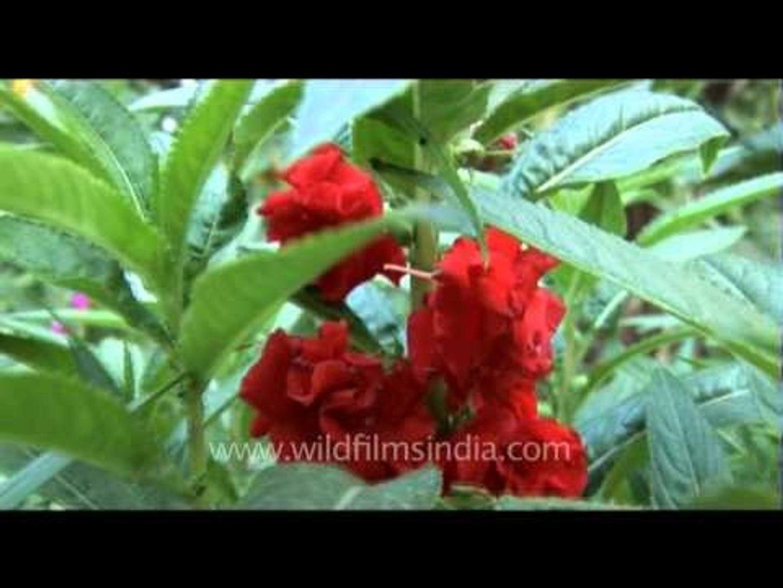 Red Balsam flower plant
