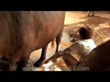 Pressing buffalo teats gently till milk comes out, India