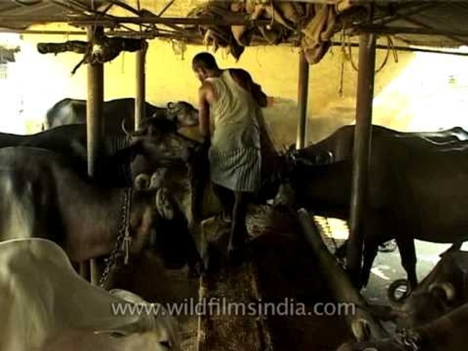 Buffalo farming in India