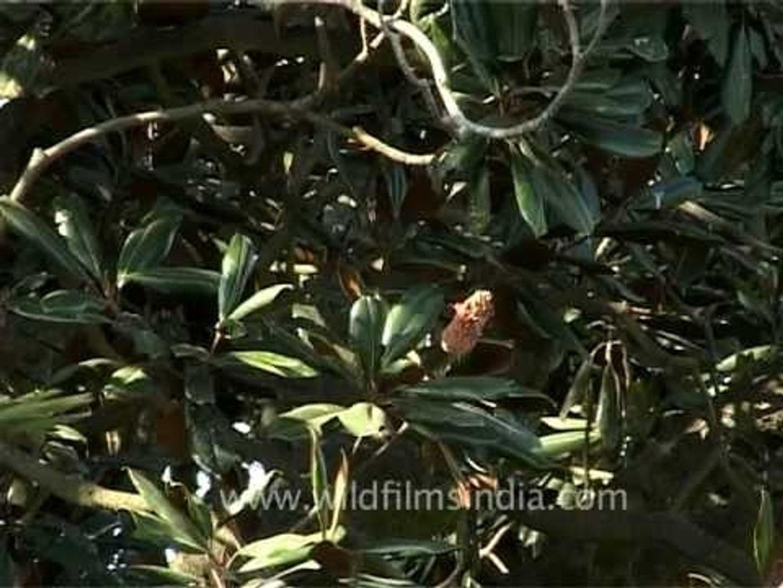 Large Magnolia tree in Kesar Mahal Botanical Garden