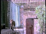 Free flowing water tap for Macaques in India