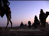 Camel safari in Jaisalmer amid sand dunes in Thar desert