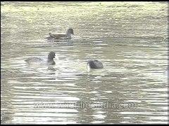 Aquatic birds of Keoladeo National Park earlier known as Bha