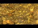 Villagers feeding eels and fish in Ruparel river near Sariska