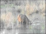 Barasingha submerging its head in muddy water in search of food