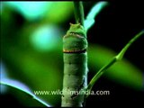 Wriggly wiggly green caterpillar