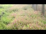 Ipomoea barlerioides - Carpet of pink morning glory flowers in Kas Plateau