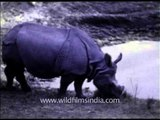 Rhinos of yore - archival footage of rhinos in India