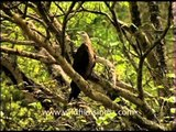 Pallas' Fish Eagle sitting on a tree and squealing away