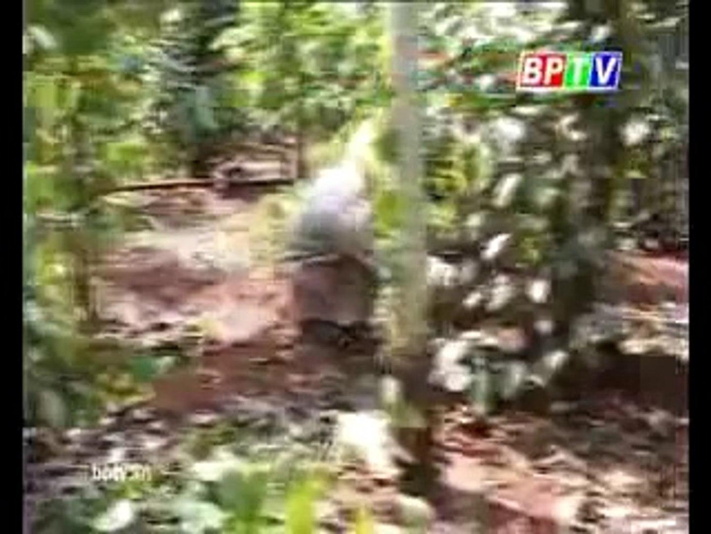 Chăn nuôi heo , biện pháp chăm sóc cây tiêu trong mùa mưa - nghenong.com