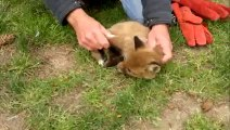 If These Guys Hadn't Come Along This Baby Fox Would Be Dead & You Won't Believe Why!