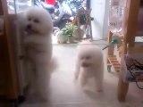 Des chiens dansent sur du DISCO (bichons)
