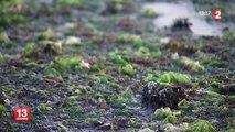 Moins d'algues vertes en Bretagne, mais davantage en Normandie