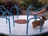 Cute Corgi Running On Carousel - Corgi Dog Vs Carousel