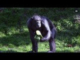 Chromosome 2 - What separates chimps from humans?