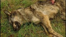 Ecologistas acusan al Principado Asturias de ocultar información sobre muertes de lobos