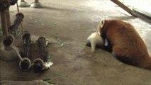 Red panda baby born at Japanese zoo