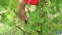 Vendanges 2014 : Un tiers du vignoble audois ne sera pas récolté, détruit par l'orage de grêle du 6 juillet dernier.